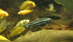 voici quelques poissons du malawi