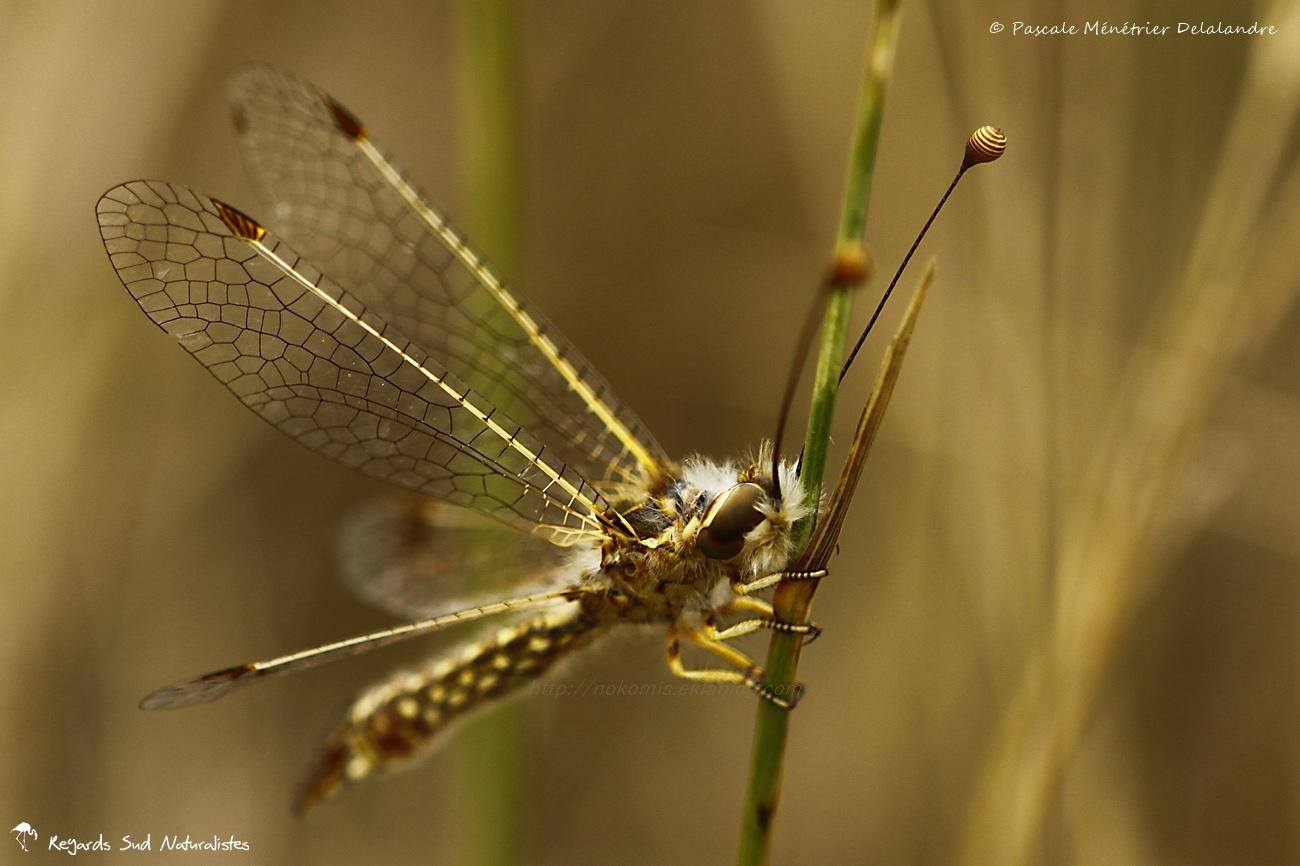 Ascalaphon du midi ♂ - Deleproctophylla dusmeti