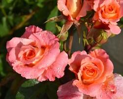 Roses du jardin...