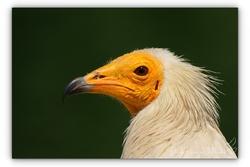 Vautour percnoptère - Parc des oiseaux