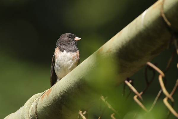 Dark-eyed Junco - Portland