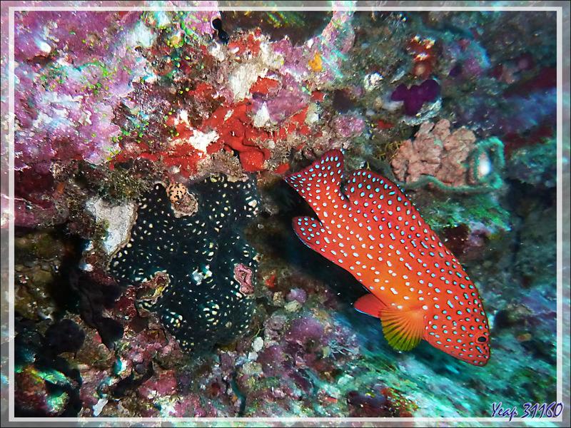 Mérou rouge, Vieille de corail, Vieille étoilée, Coral hind, Jewel grouper (Cephalopholis miniata) - Moofushi - Atoll d'Ari - Maldives