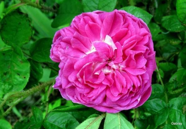 z23 - Rose