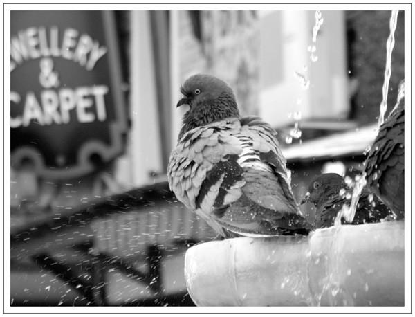 Pigeon à la fontaine