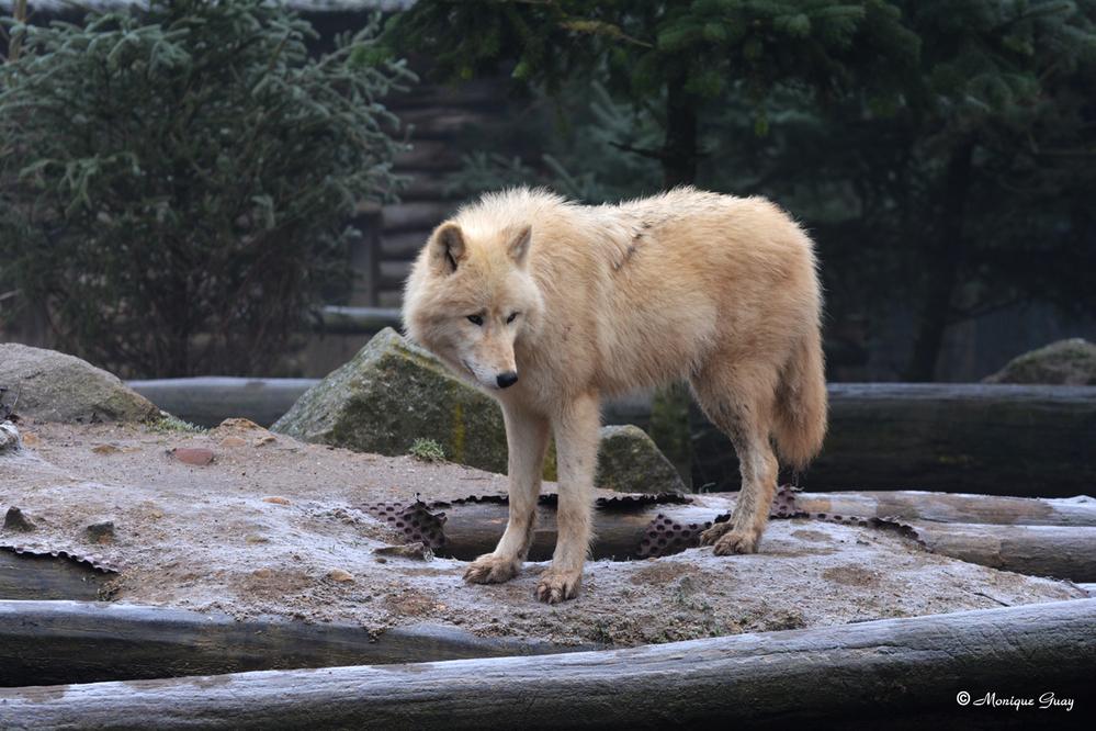 Des loups blancs de l'Arctique au zoo d'Amnéville