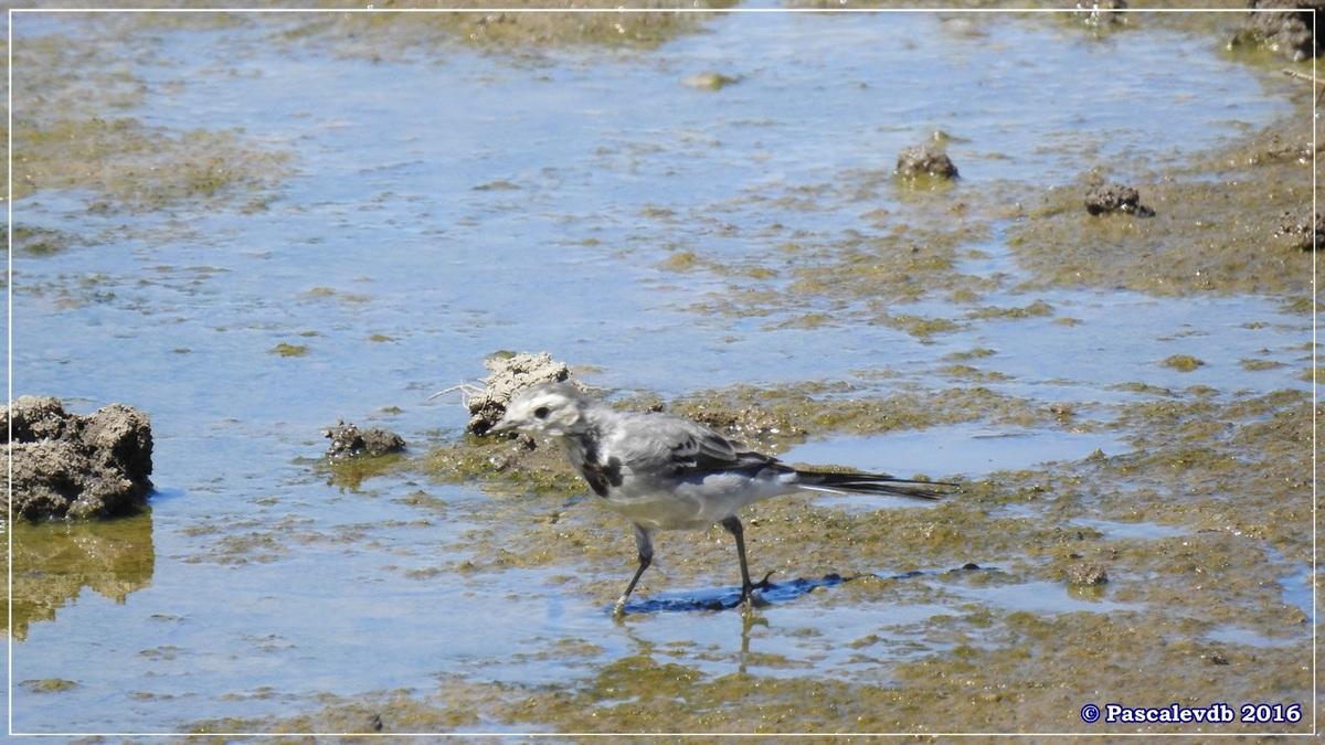 Réserve ornitho du Teich - Août 2016 - 11/12