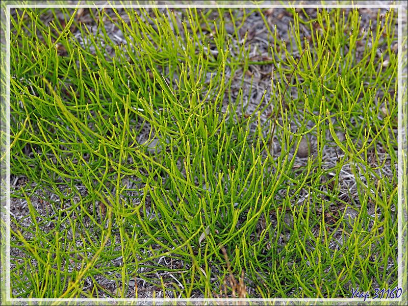 Probablement Prêle panachée, Variegated Horsetail (Equisetum variegatum) - Kangerlussuaq - Groenland