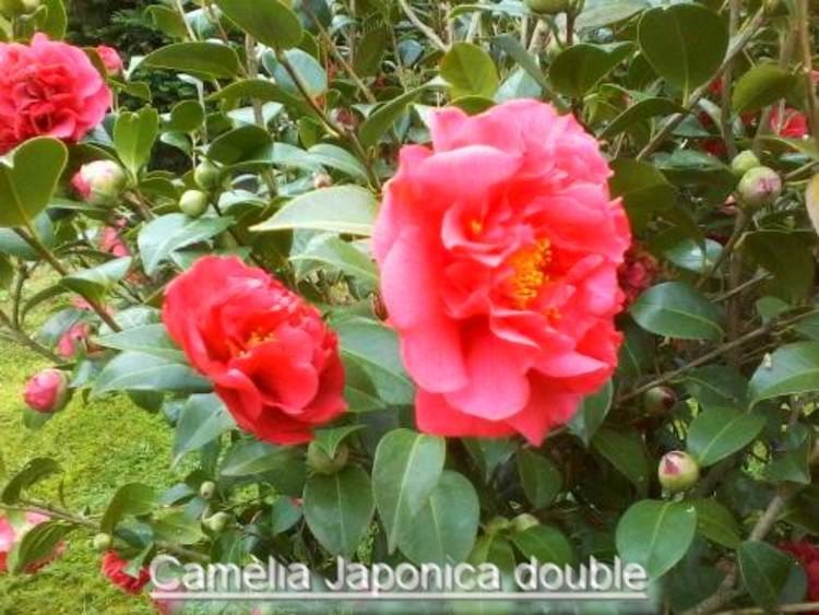 les camélias dans mon jardin,Nom commun masculin :  Camélia du Japon  Nom latin :  Camellia Japonica