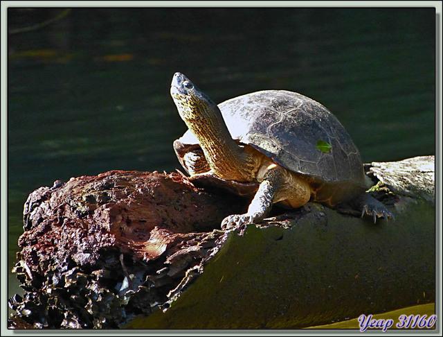 Blog de images-du-pays-des-ours : Images du Pays des Ours (et d'ailleurs ...), Tortue d'eau douce (terrestre mais vit près de l'eau) - Tortuguero - Costa Rica