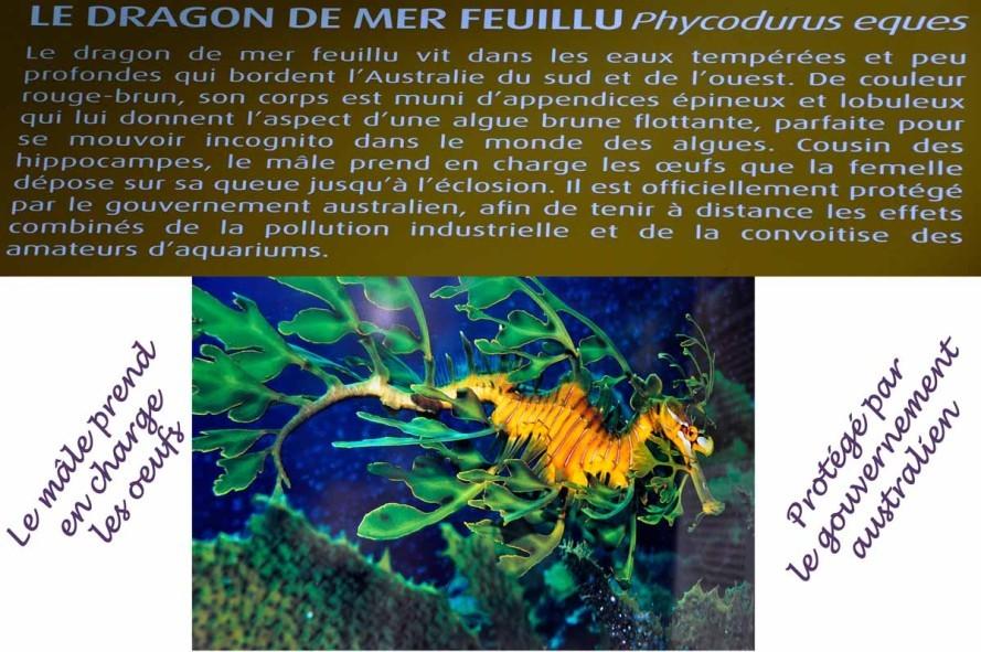 dragon de mer-1