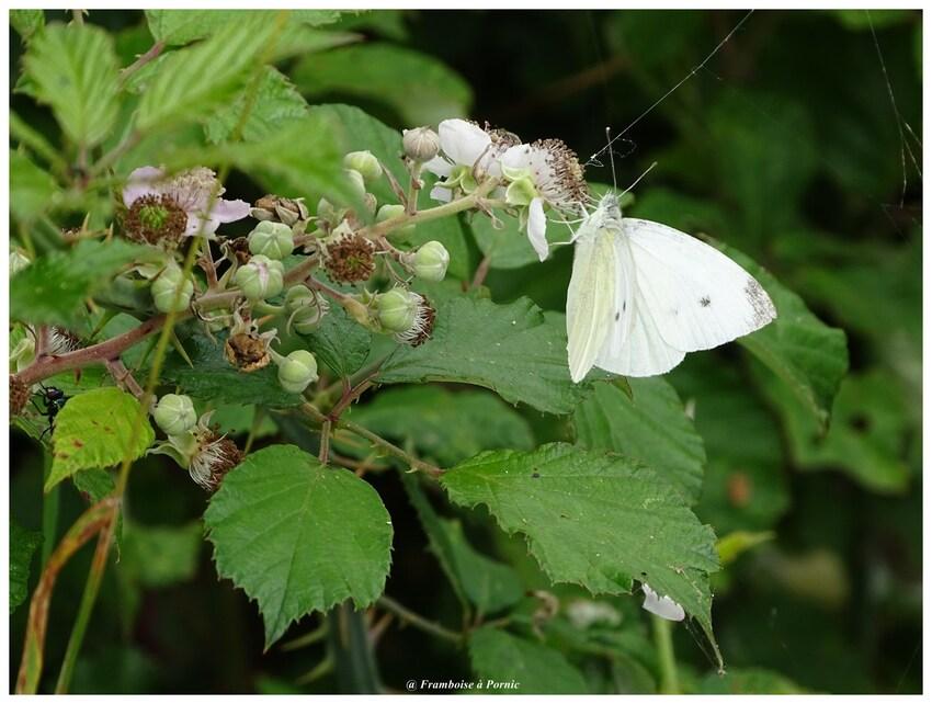 papillon pierride de la ronce