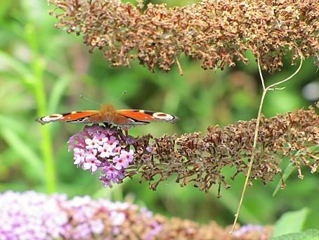 les-papillons-5514.JPG