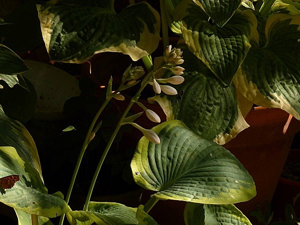 Hosta- fleur