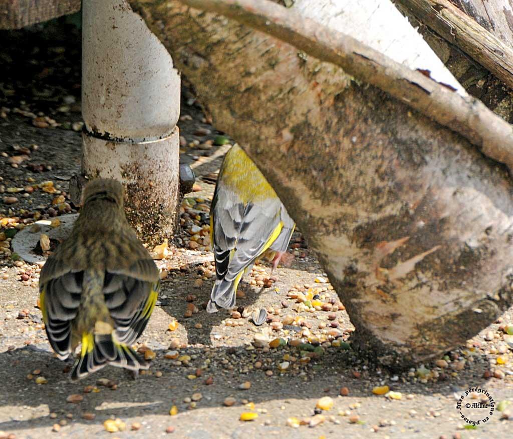Les oiseaux de mon jardin (2)