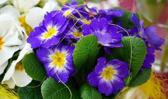 Primevères, Fleurs, Printemps, Primevère