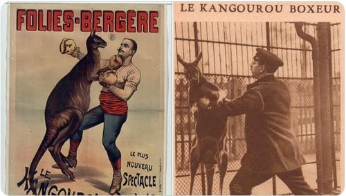 kangourous boxeurs fin XIXe siècle