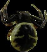 Autres Tubes araignées