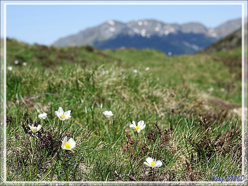 Renoncule des Pyrénées (Ranunculus pyrenaeus) - Col de Consires - Couledoux - 31