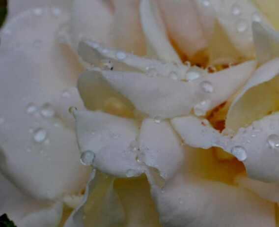 Perles de pluie sur mes  roses