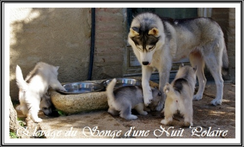 Chiots Huskys Groupe (39j)