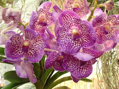 Orchidées 026