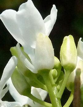 Alliaria petiolata - alliaire officinale