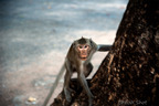 Macaque en sentinelle