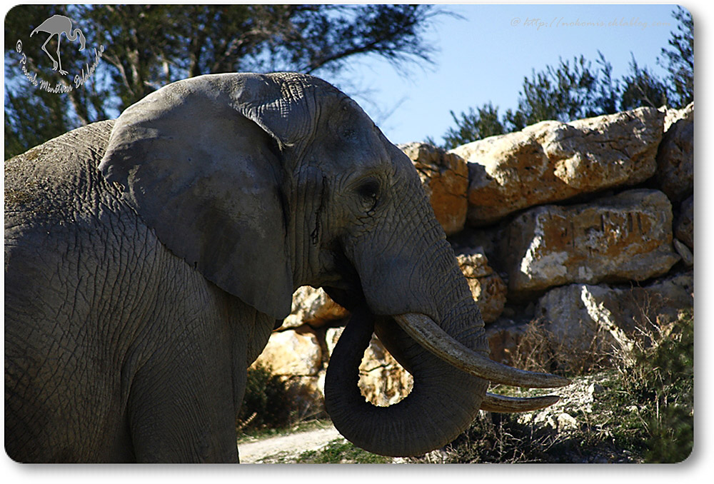 """Eléphant d'Afrique - Grand mêle en """"Musth"""""""
