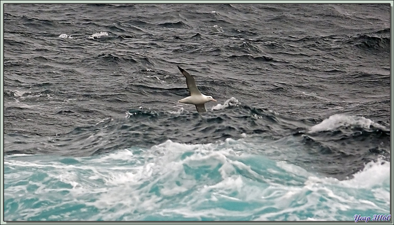 Albatros hurleur - 50èmes hurlants - Atlantique Sud