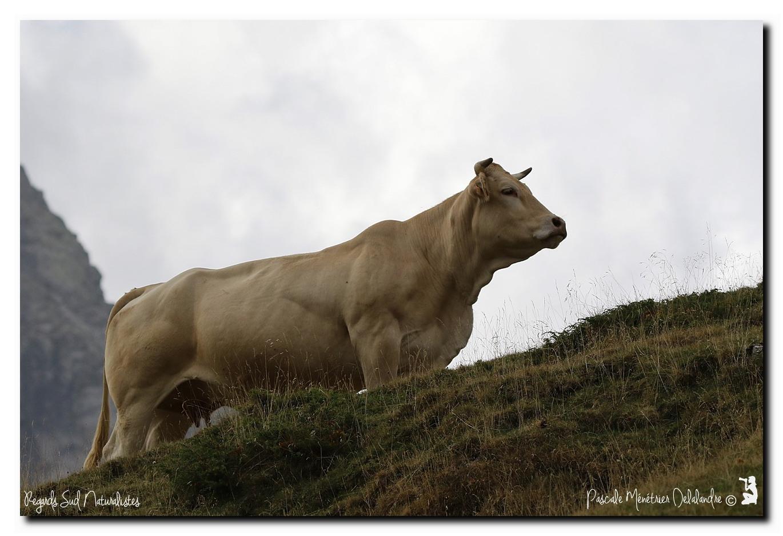 Vaches en Hautes-Pyrénées