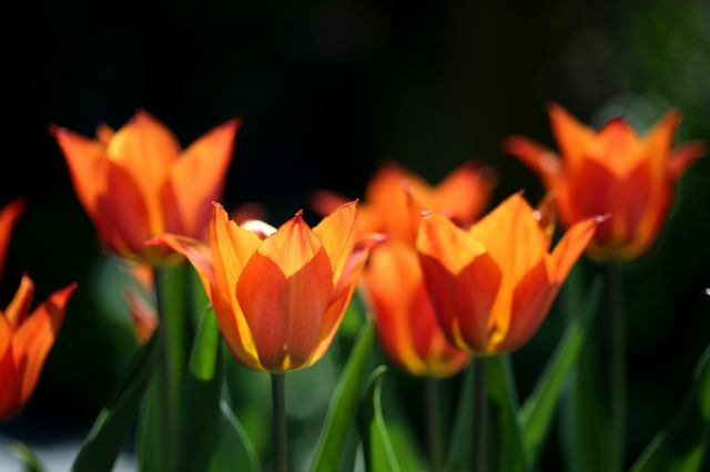 Tulipes 2019 : Request