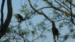 île Ometepe singes hurleurs