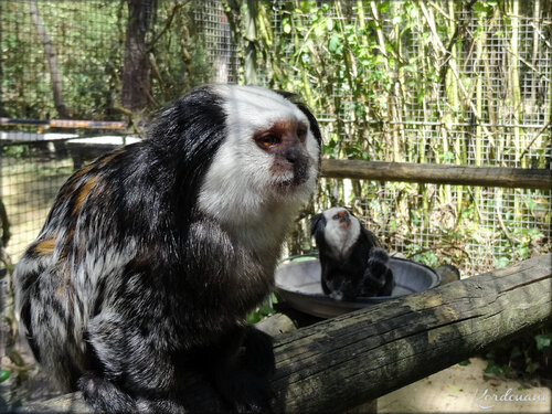 Photo de Tamarin de Geoffroy ou Pinché à nuque rousse