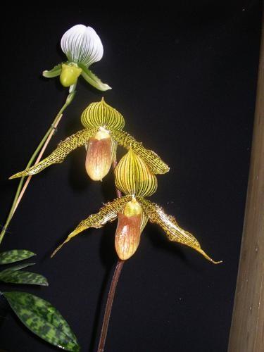 Jardin-du-monde-orchid--es-IV.jpg