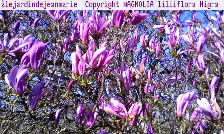 mon jardin au printemps,narcisses,jacinthes,muscaris,azalèes,magnolia