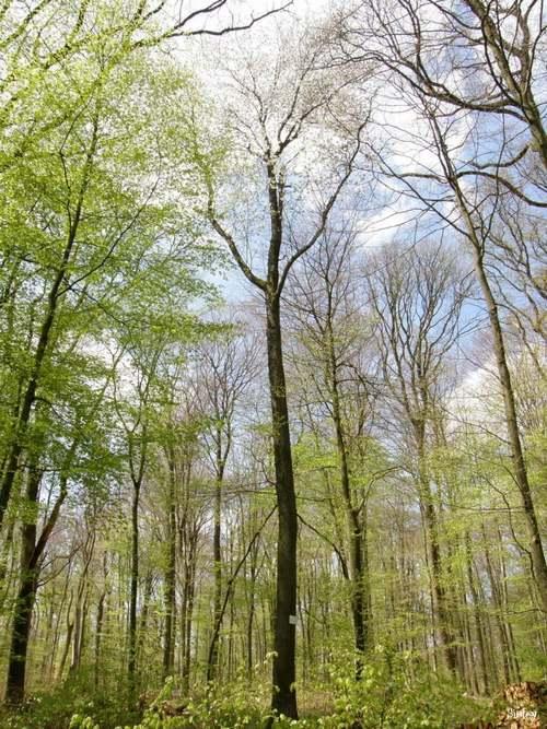 Vertus médicinales des arbres : MERISIER
