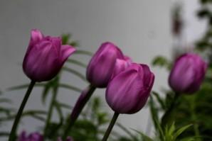 Tulipes Lavender3
