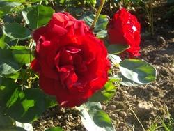 Rouges et roses aussi!