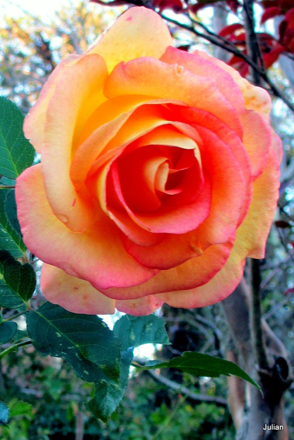 ap05---Rose.JPG