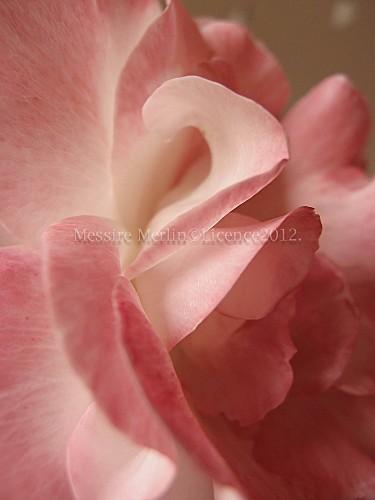 Fili-Rose.jpg