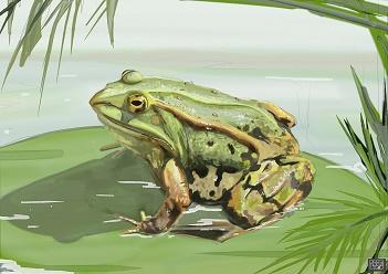 La grenouille est mon totem ...