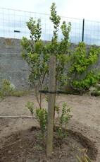 myrtus luma apiculata (myrte du Chili)