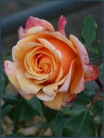 De  Précieuses  Roses