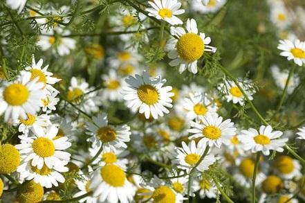 Fleurs de pyrèthre de Dalmatie