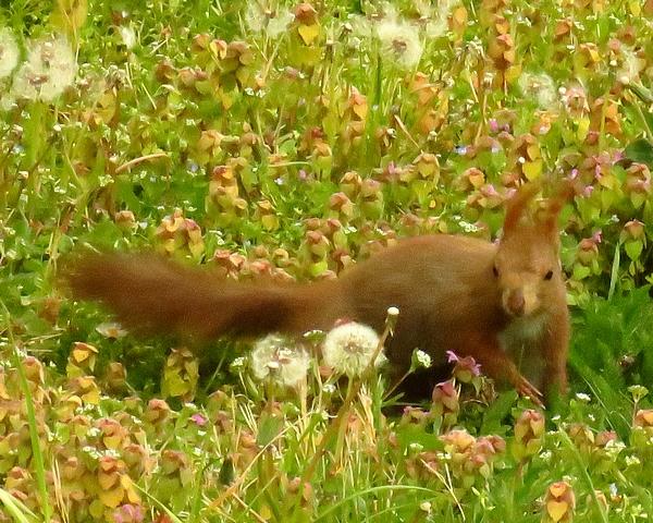 Mon ami l'écureuil vient très souvent dans le jardin, en toutes saisons...