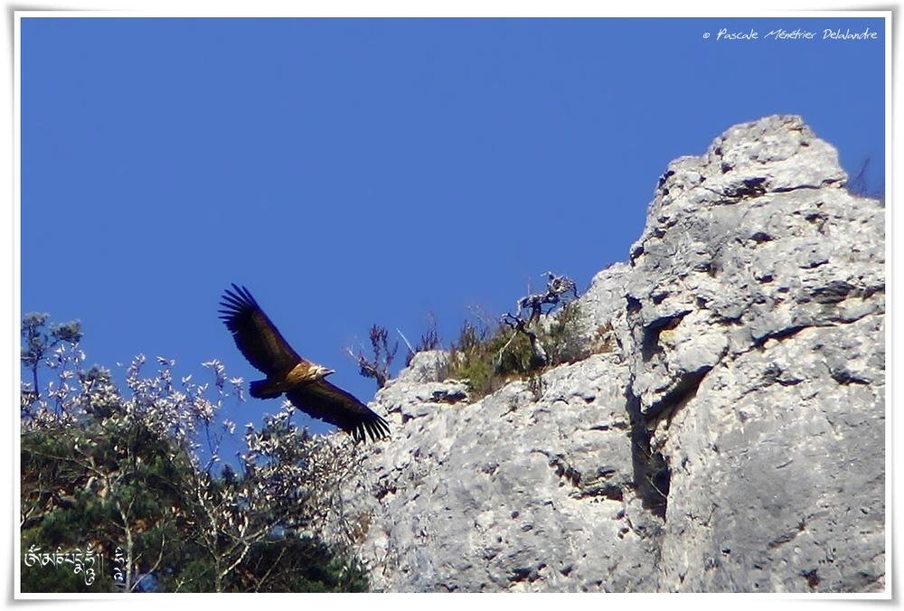 Vautour fauve - Gyps fulvus - Griffon Vulture