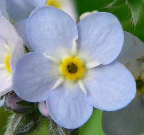 Vertus médicinales  des plantes sauvages : Myosotis