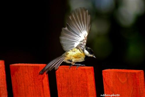 mésange aux ailes déployés