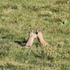 Marmottes (col d'Eylac)