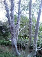 kahlgefressene Parkbäume